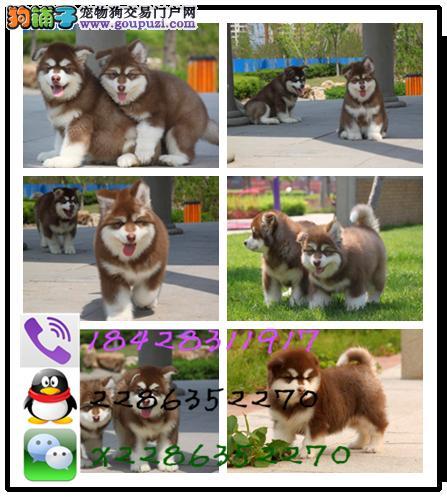 犬舍直销 大小中型犬30多个品种 包纯种健康可视频看狗