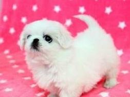 杭州精品高品质京巴幼犬热卖中一分价钱一分货