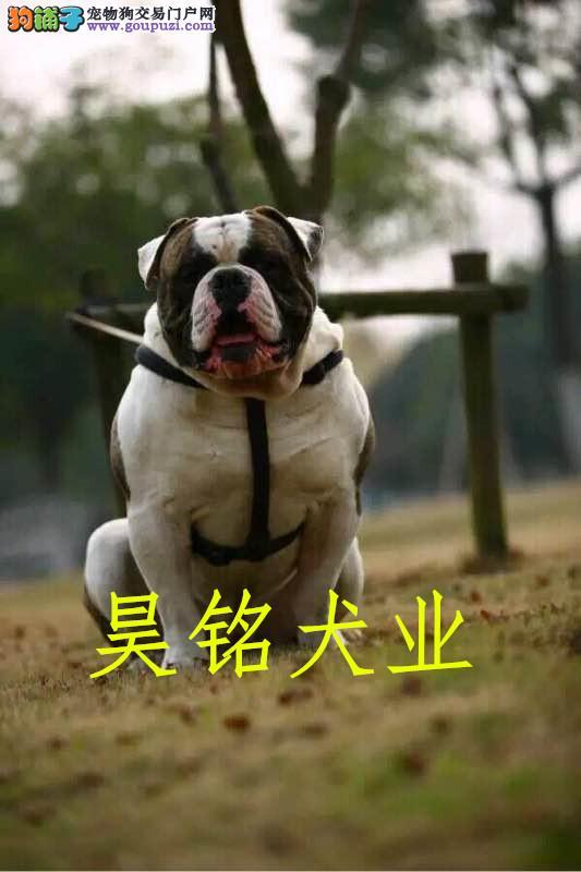 顶级美国斗牛犬 保纯种健康 CKU认证犬舍