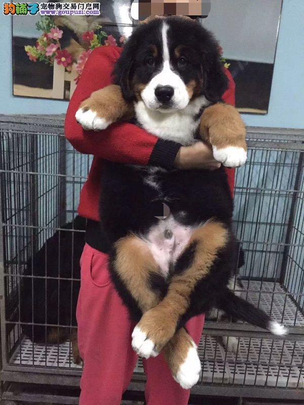 伯恩山地犬 纯种 保健康 包售后 全国包邮