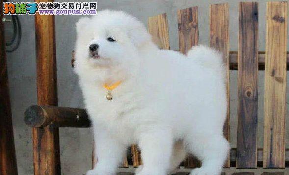 深圳哪里有卖萨摩耶幼犬 深圳萨摩耶的价格多少