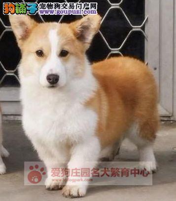 专业犬舍繁殖柯基幼犬出售,保证健康纯种