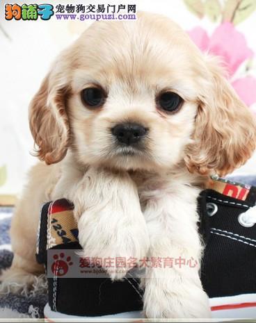 精品可卡幼犬出售,保证健康纯种