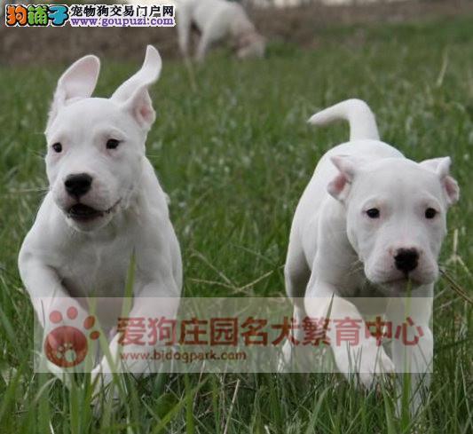 精品杜高幼犬出售,保证健康纯种,在乎品质找我