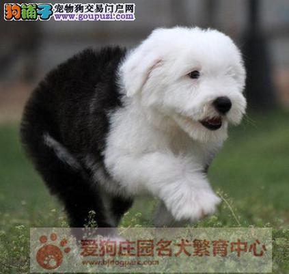 精品古代牧羊犬出售,保证健康纯种,在乎品质的找我