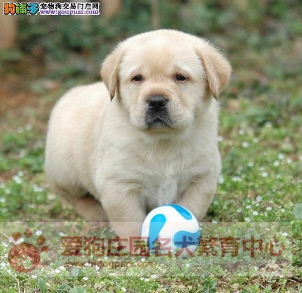 拉布拉多幼犬带血统证书 健康可爱 可签协议