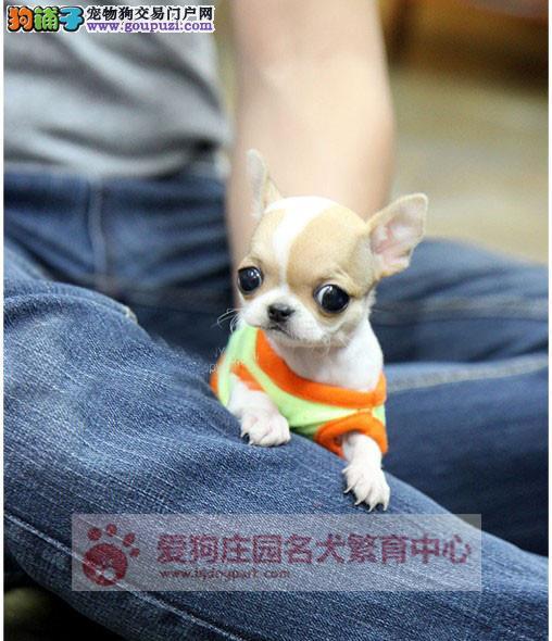 专业犬舍优质吉娃娃,包纯种健康,活泼可爱