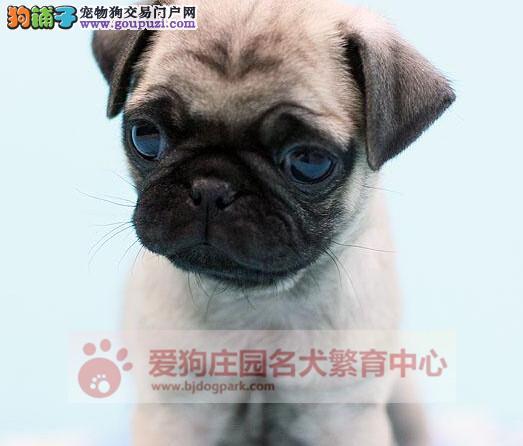 专业犬舍出售巴哥幼犬,保证健康纯种