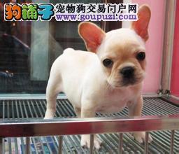 天津CKU认证犬舍出售高品质法国斗牛犬保障品质售后