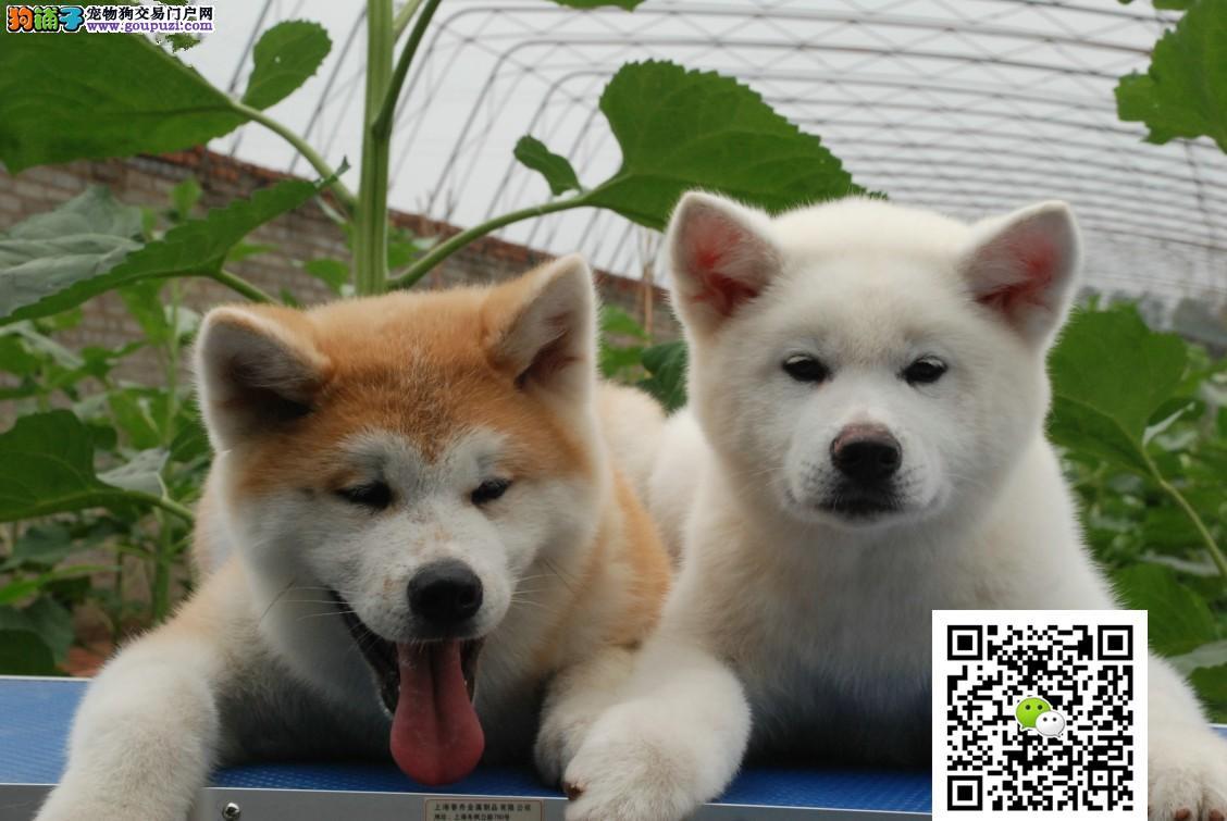 日系赛级秋田犬幼犬 高品质健康保障 包纯种