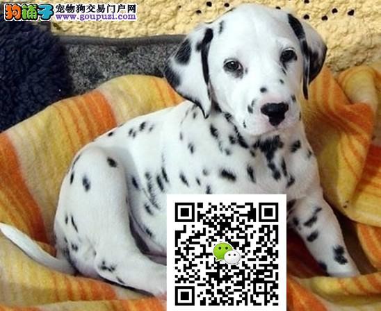 正规犬舍繁殖高品质斑点狗 带血统证书芯片 包健康