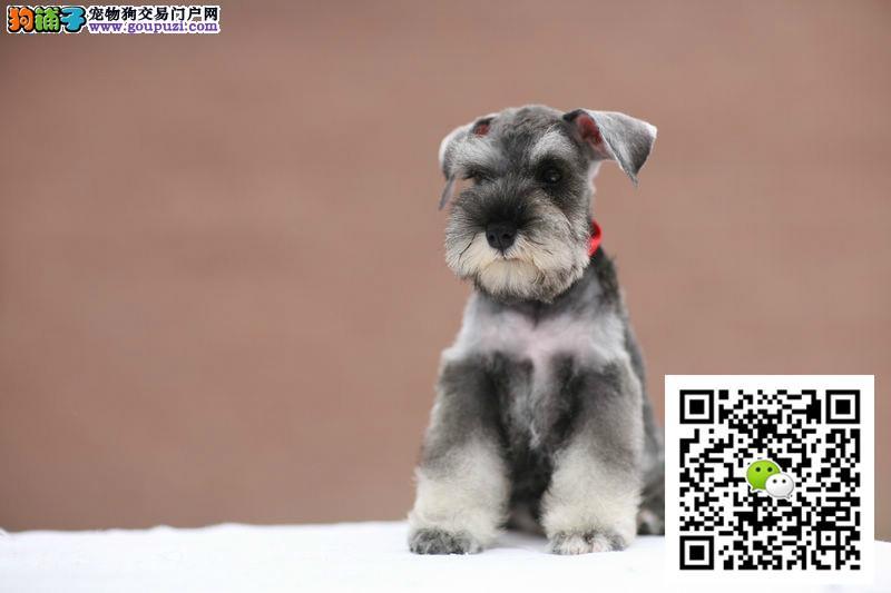 正规犬舍繁殖雪纳瑞幼犬 包纯种健康 同城送货