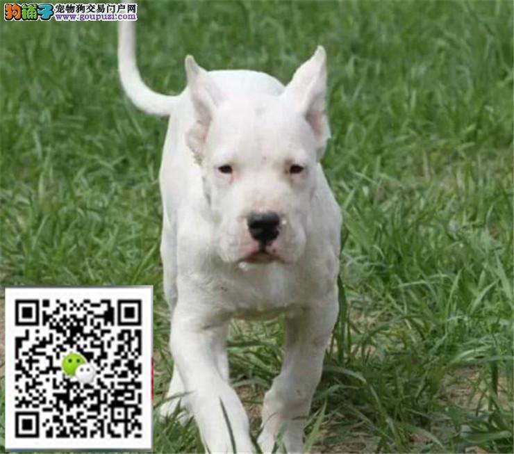 专业繁殖杜高犬 犬舍直销 带血统 证书芯片保售后