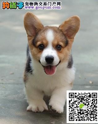高品质威尔士柯基犬幼犬 包纯种健康 售后服务好!