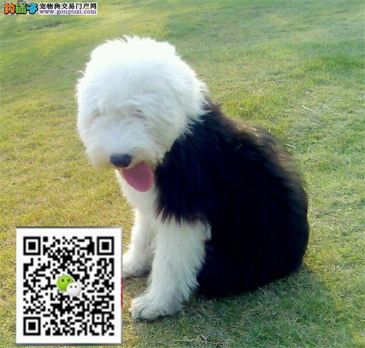正规犬舍繁殖精品古牧犬幼犬 包健康纯正 保售后