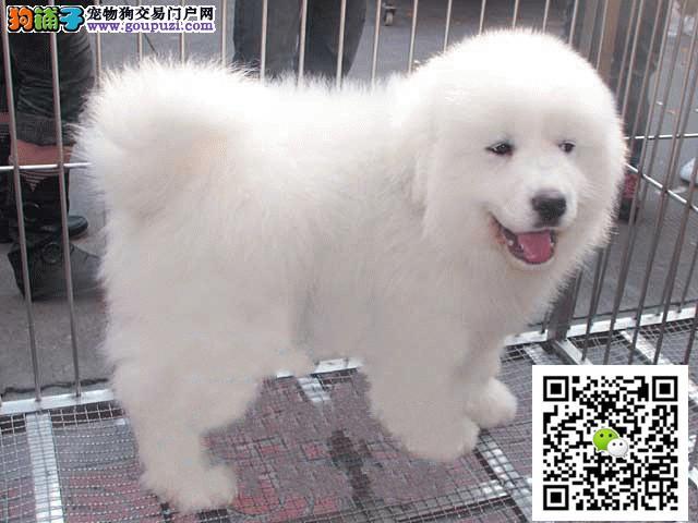 正规犬舍出售赛级大白熊 带血统证书芯片 包纯种健康