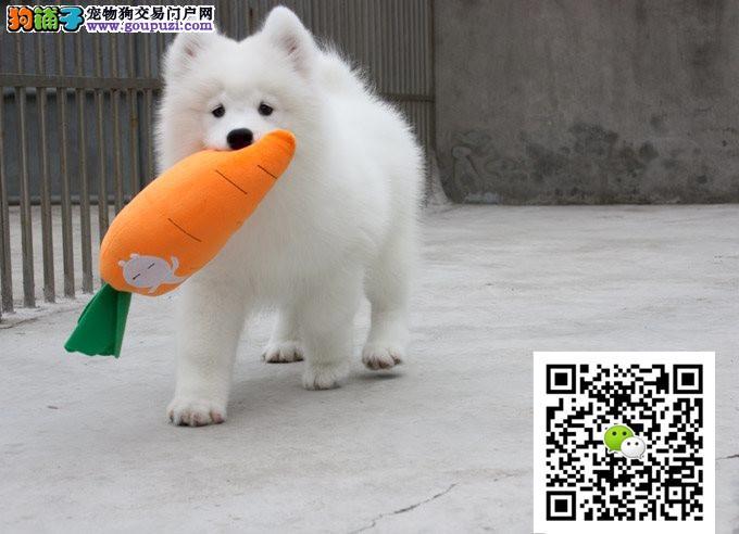 纯白色萨摩耶幼犬出售,