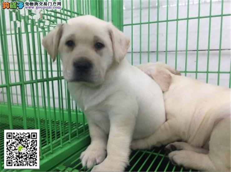 正规犬舍繁殖纯种拉布拉多出售,另有这公对外交配!