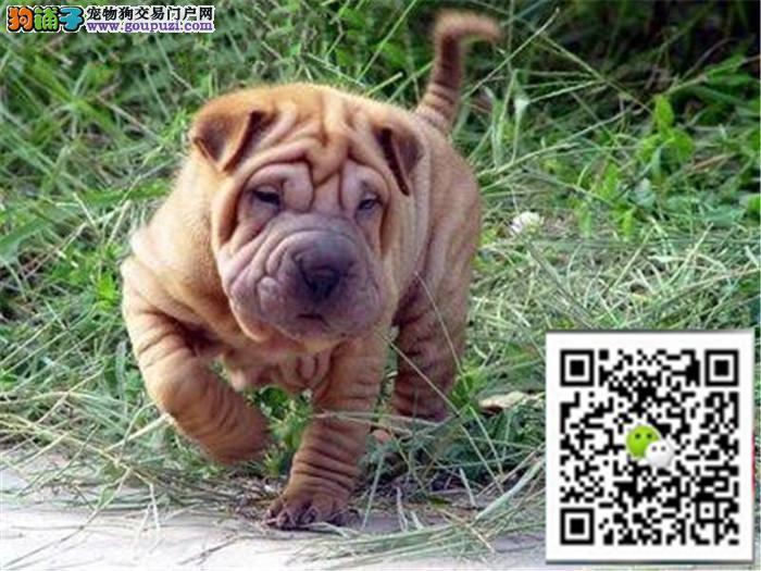 正规犬舍繁殖精品沙皮幼犬 血统纯种憨厚 包纯种健康