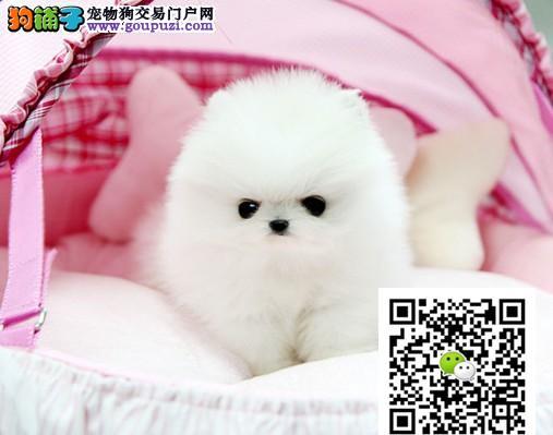 纯种小体博美幼犬出售,另有种公对外交配!