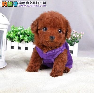 正规犬舍繁殖精品泰迪熊幼犬,证件齐全,可送货上门