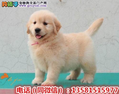 大骨架大毛量纯种金毛犬幼犬 另有种公对外配种!