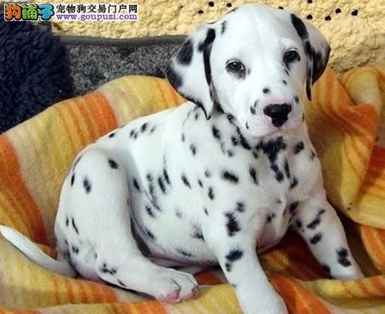 犬舍繁殖斑点狗幼犬疫苗齐全 公母均有