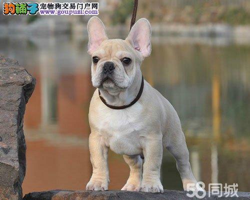 正规犬舍繁殖纯种法国斗牛犬 赛级双血统 有证书芯片
