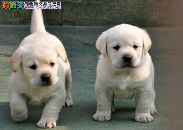 正规犬舍繁殖纯种拉布拉多犬幼犬 大骨架赛级单血统