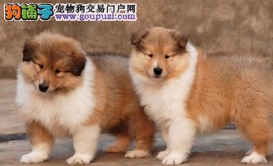 正规犬舍繁殖纯种苏格兰牧羊犬 公母均有 疫苗齐全