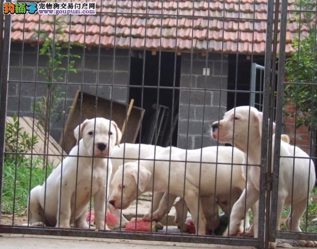 正规犬舍繁殖杜高犬幼犬 公母均有疫苗齐全
