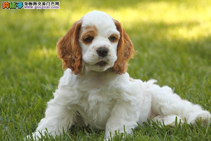 正规犬舍繁殖可卡犬 英卡幼犬疫苗齐全 公母均有包健康