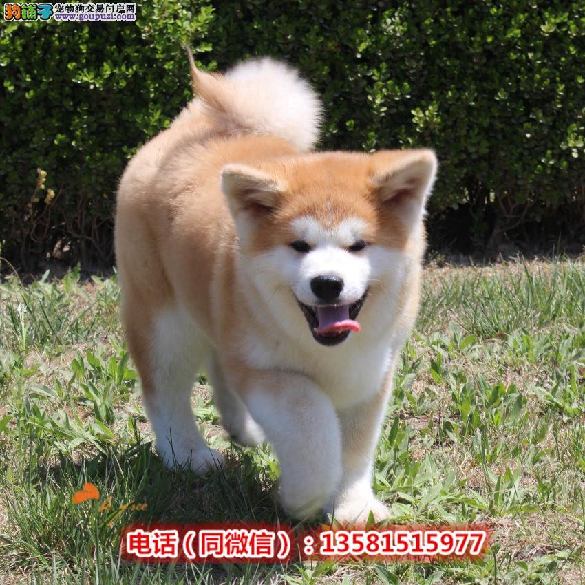 日系纯种秋田犬幼犬 多只挑选 包健康纯种 同城送货