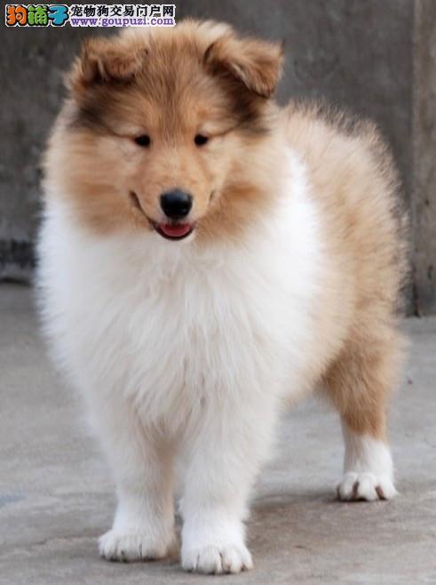 CKU认证犬舍实物拍摄苏牧幼犬终身质保