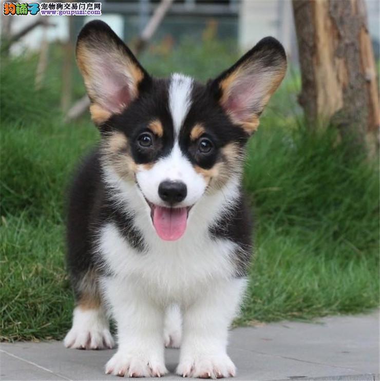 纯种威尔士柯基犬幼犬 公母均有疫苗齐全 包纯种健康