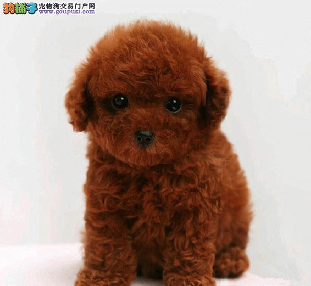 正规犬舍繁殖精品泰迪熊幼犬出售,另有种公对外交配!
