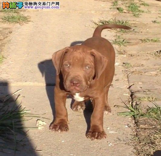 凶猛霸气兴奋度高 纯种比特幼犬 另有种公对外配种