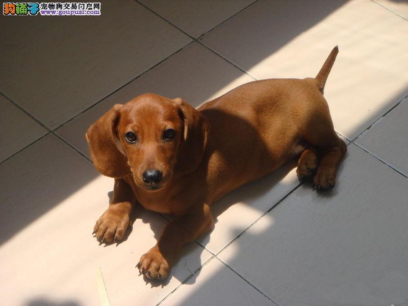 基地出售2-4个月纯种腊肠犬 保纯保健康