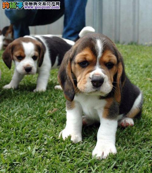 正规犬舍繁殖比格犬幼犬另有种公对外交配
