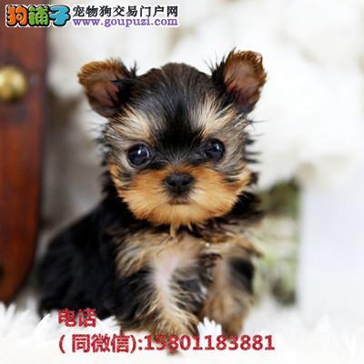 纯小体约克夏幼犬 公母均有 家养包纯种健康 。