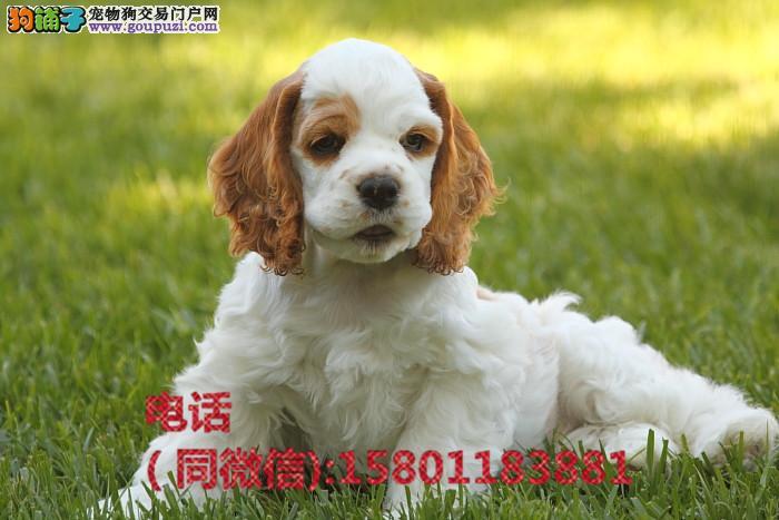 正规犬舍出售纯种可卡犬幼犬 温顺可爱 疫苗齐全