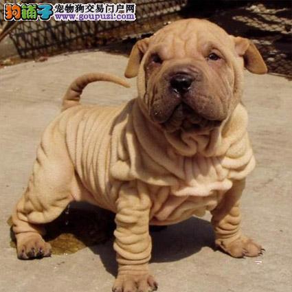 正规犬舍繁殖沙皮犬幼犬 疫苗齐全 另有种公对外交配