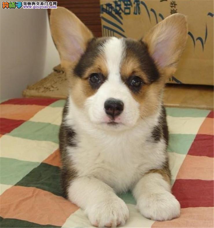 正规犬舍繁殖威尔士柯基犬幼犬 另有种公对外交配!