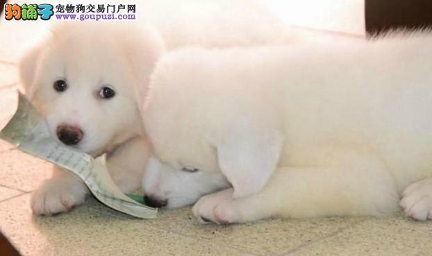 爱宠犬舍出售纯种大白熊犬 大白熊幼犬 保纯种和健康