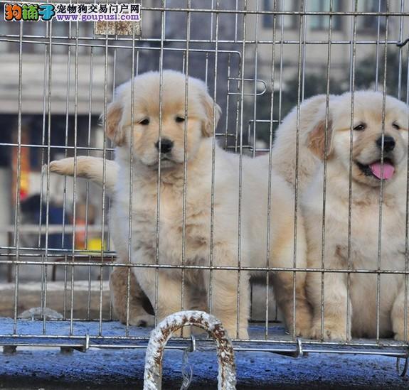 重庆最大规模金毛繁殖基地直销出售 包纯种健康
