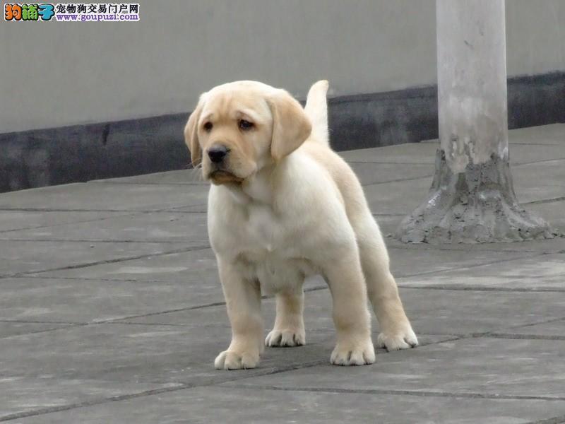 大连 哪里有拉布拉多犬出售 纯种的拉布拉多犬多少钱