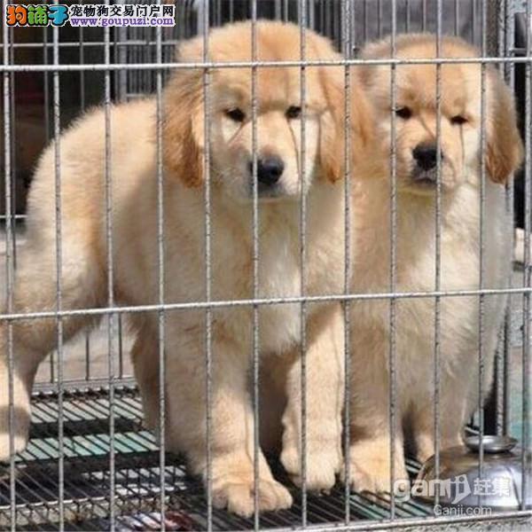 北京国泰狗场出售美系金毛 英系金毛寻回猎犬