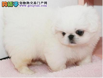 纯种京巴幼犬外形阳光 笑容灿烂 当面挑选可见种犬