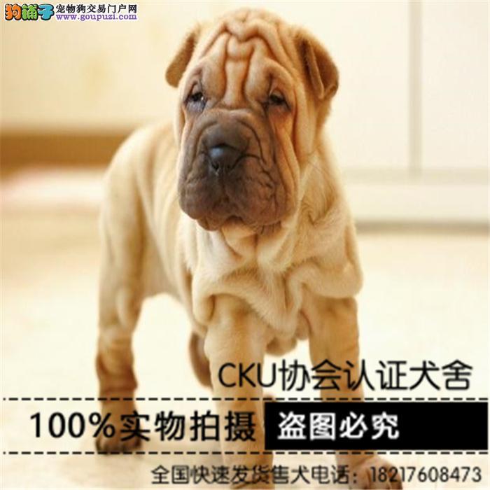 出售纯种沙皮幼犬狗狗品相好健康保证质量保证
