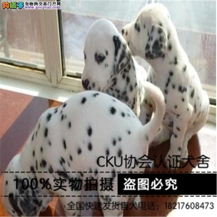 狗场出售纯种斑点狗大麦町幼犬 纯种保健康